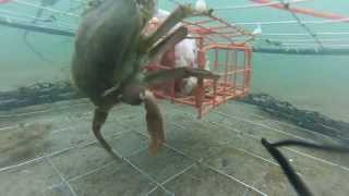 Repeat youtube video GoPro Pier Crabbing '13