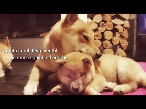 The other side of Shiro - loving a potat! Shiba Inu puppies (with captions)