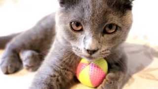 Cute Kitten playing Cat Ball Game