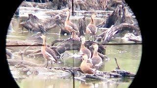 Berburu Burung Belibis Tajur nyanggong dibawah pohon singkong