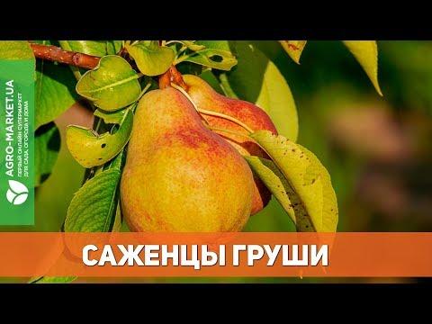 Саженцы груши в Украине | Agro-Market.ua