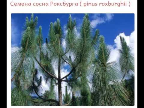 Купить растение Сосна черная в интернет-магазине Hoga.ru - YouTube