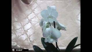 WHITE SURPRIS Дендробиум фаленопсис , Орхидеи, уход(WHITE SURPRIS Дендробиум фаленопсис , Орхидеи, Уход за орхидями в домашних условиях СОРТ ДЕНДРОБИУМА ФАЛЕНОПССИСА., 2016-08-06T21:02:46.000Z)