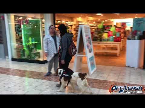7-Month Old Brittany Spaniel, Wes | Brittany Spaniel Dog Training | Off Leash K9 Training