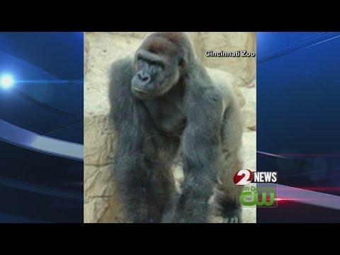 Gorilla shot dead after 4-year-old boy gets into enclosure at Cincinnati Zoo
