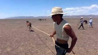 Desierto del Gobi. Caza de caballos (potros salvajes). Mongolians horses