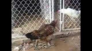cách nuôi gà chọi - gà mái đẹp