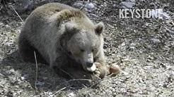 Berner Bären im Sommerlager - Bern Bärenpark Juraparc Vallorbe