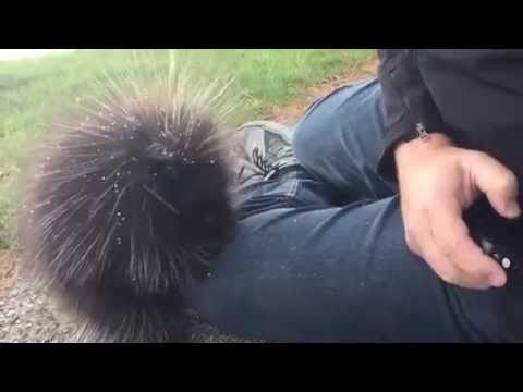 WATCH: Young porcupine climbs up on man looking for warmth