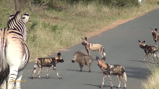 Warthog vs Pack of Wild Dogs