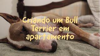 Criando um Bull Terrier em espaços pequenos