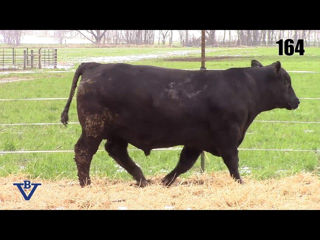 Branch View Angus Lot 164