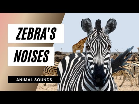 The Animal Sounds: Zebra Brays - Sound Effect - Animation
