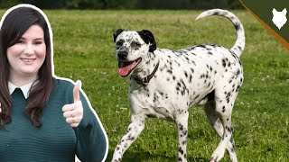 BREED 101 DALMATIAN! Everything You Need To Know About The DALMATIAN