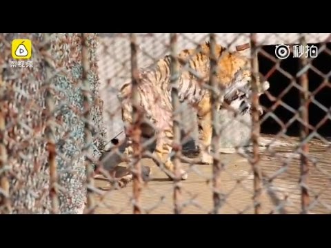 """China's Private Zoos Accused Of Poaching And """"laundering"""" Wild Animals"""