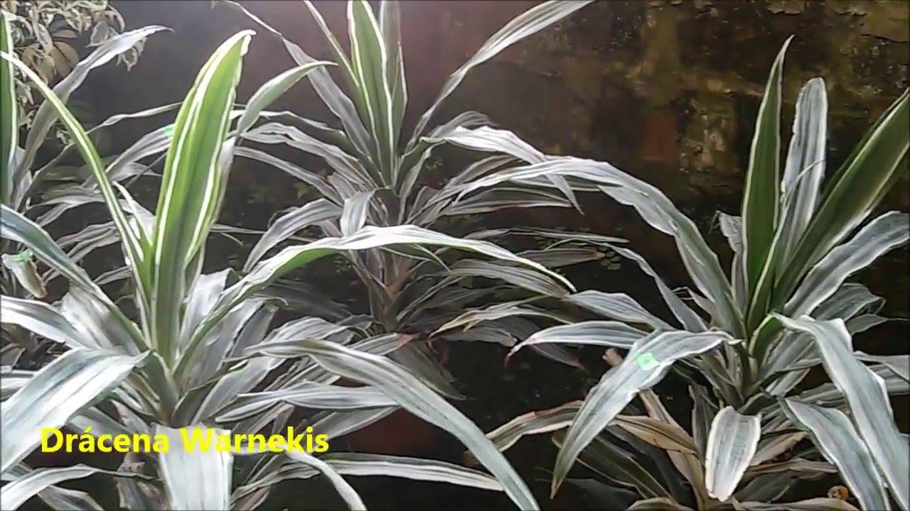 Plantas de interior y sus cuidados vivero marra youtube - Plantas de interior cuidados ...