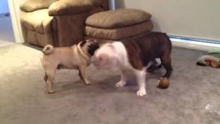 Winston The British Bulldog Vs Boris The Pug