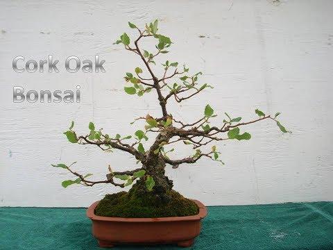 Cork Oak Bonsai Youtube