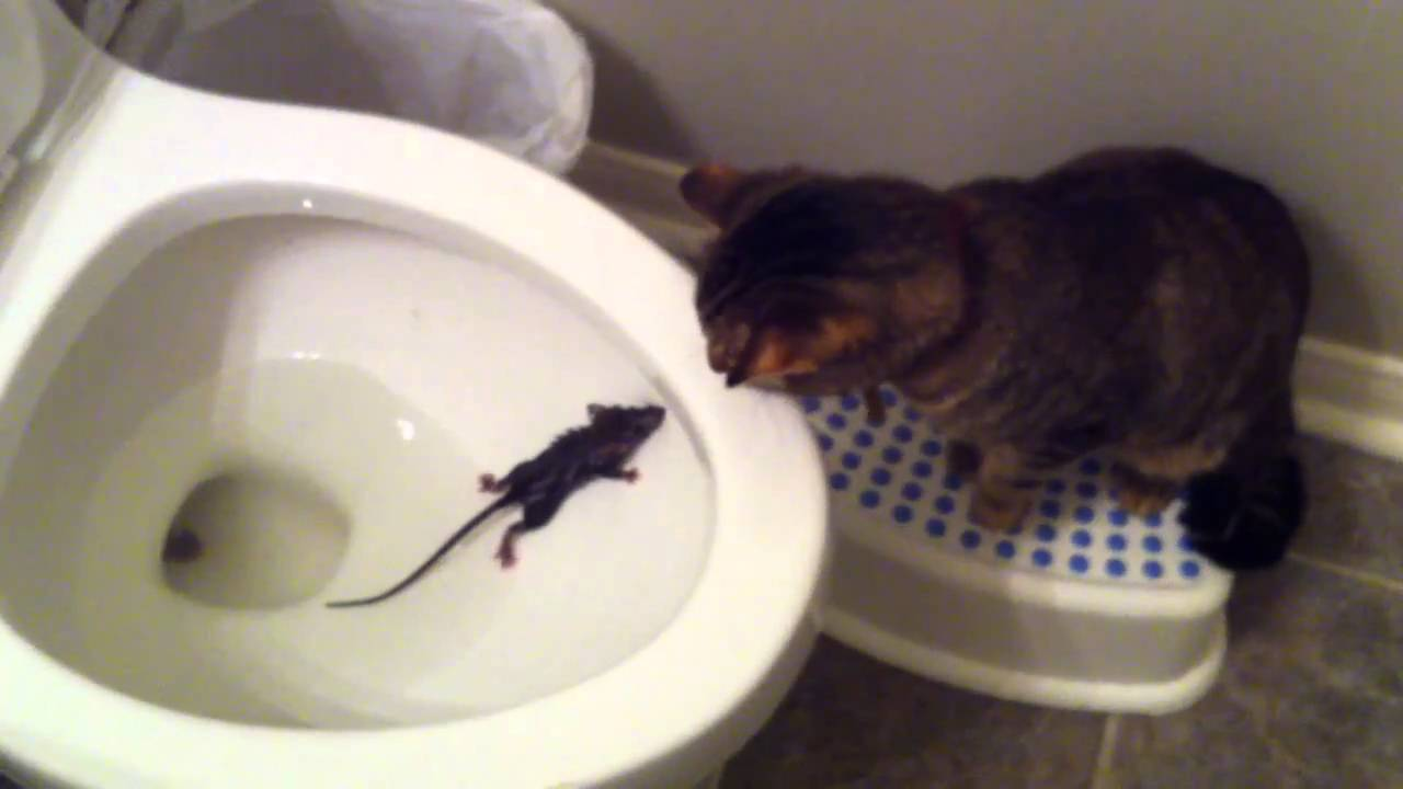 Rascal the Cat and the Toilet Rat - YouTube