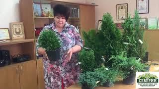 Обзор хвойных растений