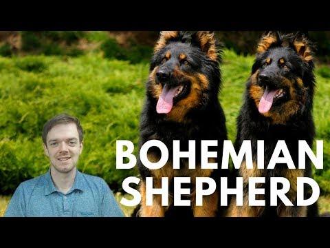 Bohemian Shepherd - Chodsky Pes - Interesting Facts