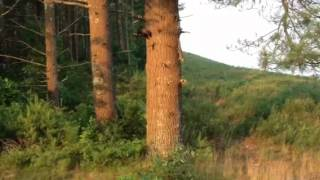 Fisher cat vs. squirrel