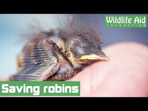 Nest of baby robins hiding in a van