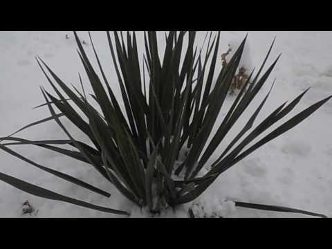Вопрос: Нужно ли укрывать юкку на зиму?