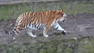 Tygrys Amurski - Amur-Tiger - Амурский тигр