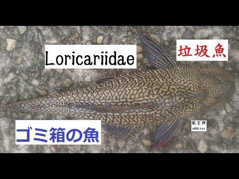 a0drtai太湖船Loricariidae清垃圾