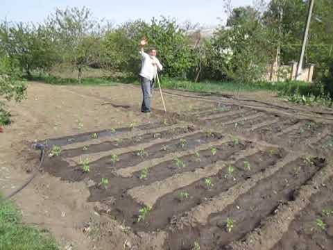 Полив  рассады помидор после высадки из теплицы в открытый грунт