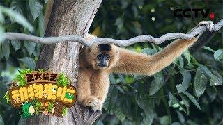 [正大综艺·动物来啦]天行长臂猿几乎不喝水?| CCTV