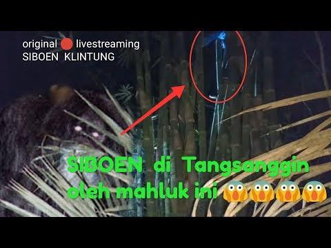 Original full video SIBOEN  di lempar ke pohon bambu