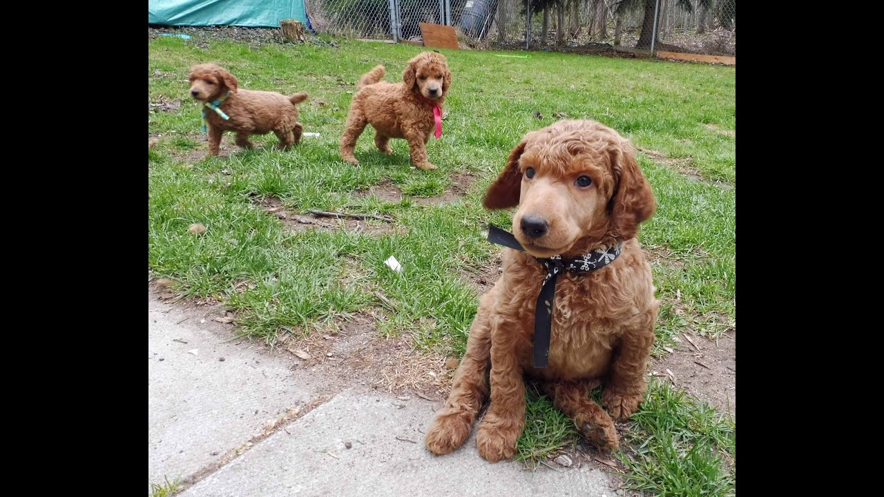 Red Standard Poodle Puppies Playing In The Yard Youtube