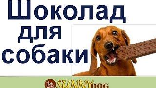 шоколад для собаки?   можно ли шоколад собаке? в каких количествах шоколад можно ?