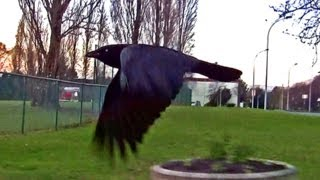 Carrion Crow Arial Parkour Parkair - (Ravens Escort Driver)