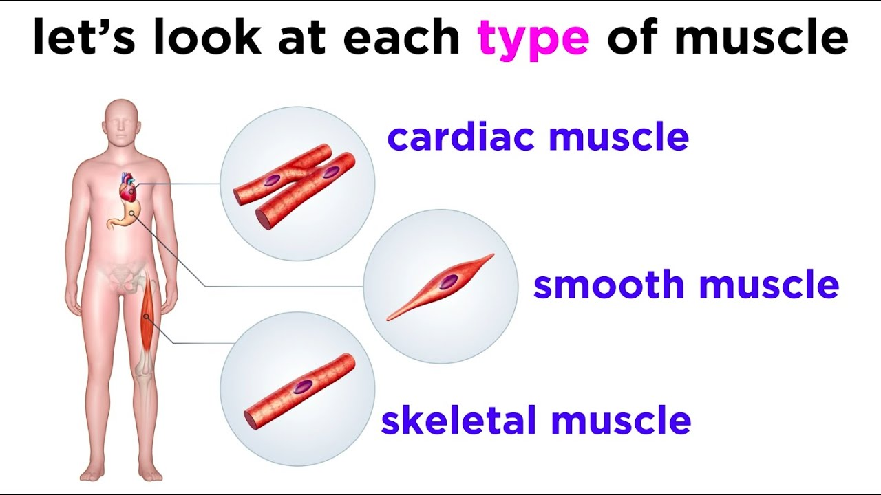 types of tissue part 3 muscle tissue [ 1280 x 720 Pixel ]