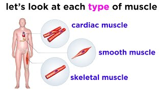 Types of Tissue Part 3: Muscle Tissue