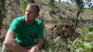 Как живется львам после цирков у нас в Тайгане !