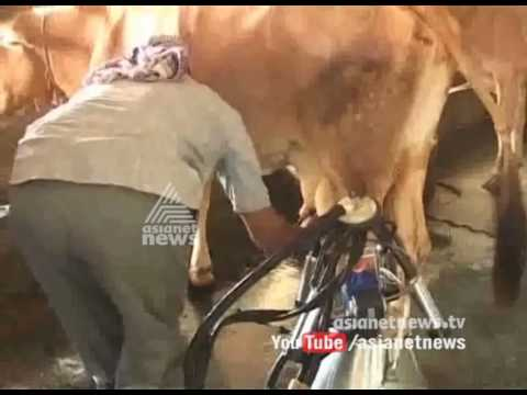 Brucellosis-infected cattle will undergo mercy killing in Palakkad
