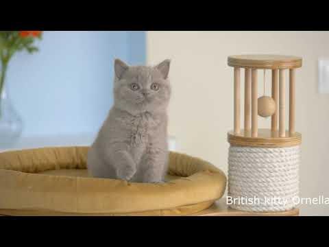 British kitty Ornella is 8 weeks old