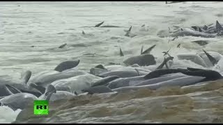 Mass Stranding: More than 140 whales die on beach in Western Australia