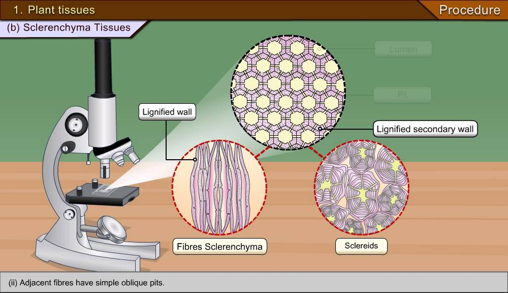 a diagram of microscope parts wire two way switch to identify parenchyma and sclerenchyma tissues in plants - youtube