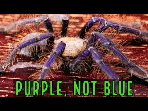 Singapore Blue Tarantula (Omothymus violaceopes) Care & Husbandry