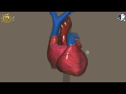 Apparato cardiocircolatorio 01: Cuore - Configurazione esterna