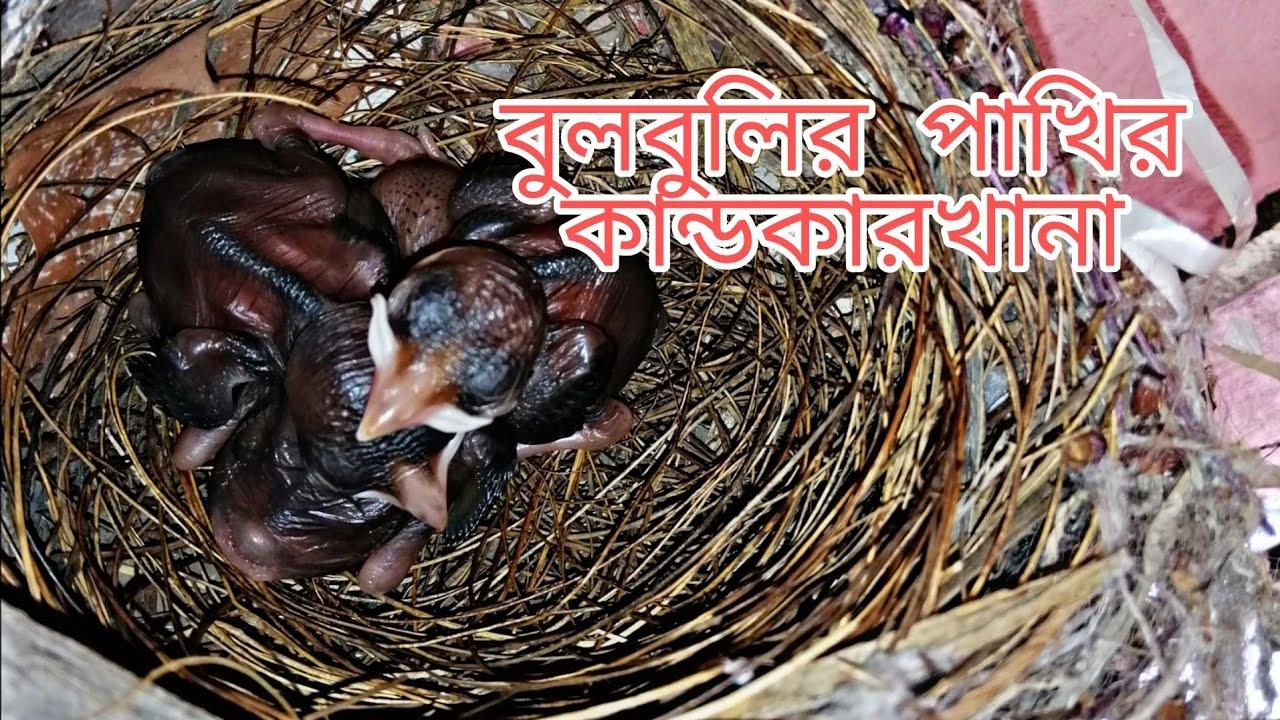 বুলবুলি পাখির কান্ড কারখানা ।। বুলবুলি পাখি।। Amardesh।।Mashud Rahman