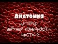 Локтевая артерия a.ulnaris