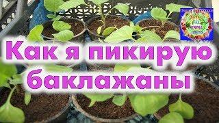 Как правильно проводить пикировку баклажанов? Выращивание баклажан в улитке.
