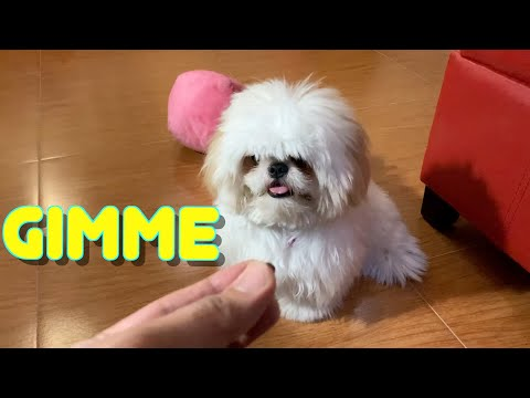 Smart Shih Tzu Puppy Learns How to Follow Commands ( So Cute! )