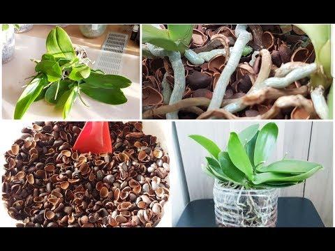 Орхидеи в кедровой скорлупе: предыстория и шикарный результат
